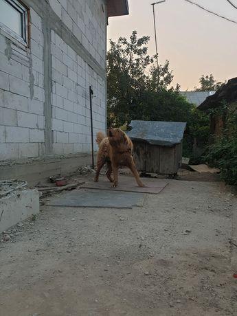 Vand câine caucazian, asia centrală și volkodav
