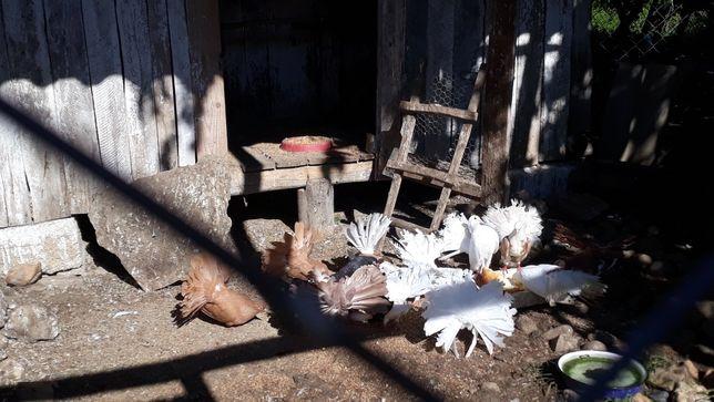 Porumbei înfoieții