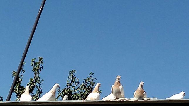 Продам голубей...