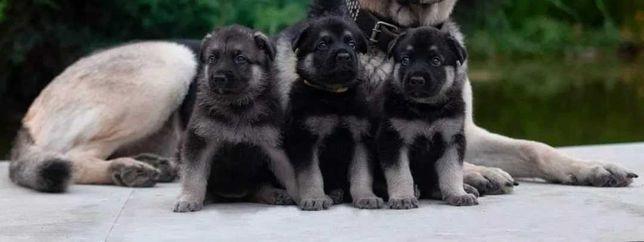 Отличное предложение Супер щенки Восточно-Европейской Овчарки ДЕШЕВО!