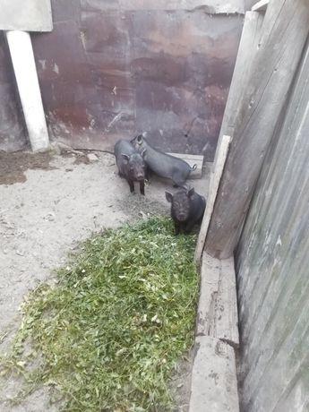 Кобанчик и свинка 2.5 месяца кобанчик кострирован