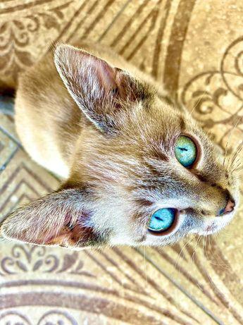 Отдам бесплатно котёнка редкого окраса!