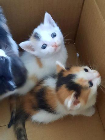 котята трёхцветные