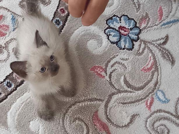 Отдам котенка сиамская