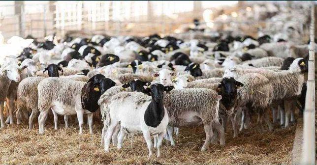 Бараны овцы ягнята гисарские дорпер