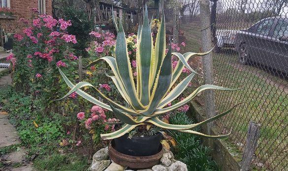 Столетник цвете - голямо