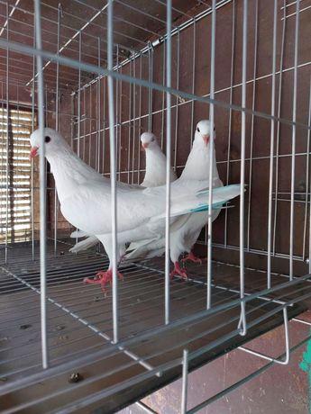Продаю бакинских голубей