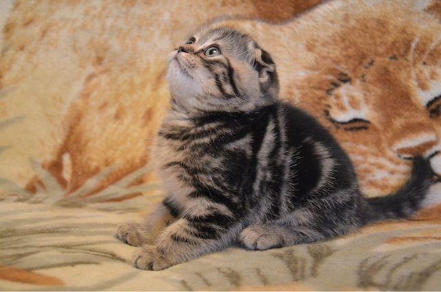 Шотландские котята тигр
