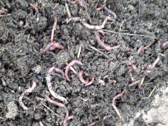 Калифорнийски червеи