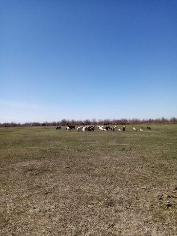Срочно КОЗЫ  с козлятами