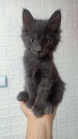 Котенок европейский нибелунг, 2 месяца
