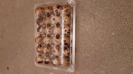 Caserole oua prepelite