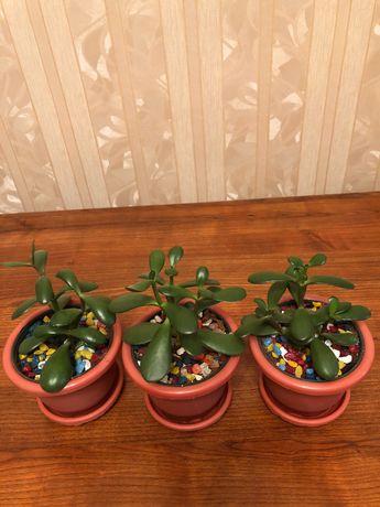 Комнатные цветы-денежное дерево,ледебурия