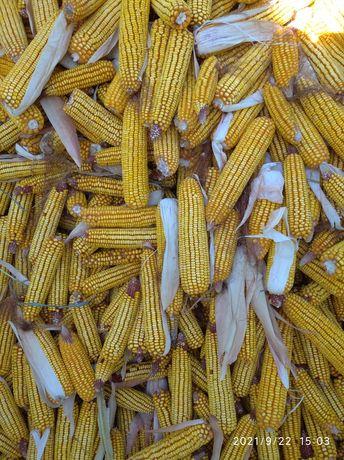 Продам кукурузу в початках