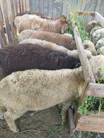 продам баранов овец