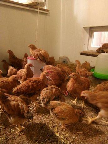 Кучинские цыплята несушки 2-х месячные оптом и в розницу
