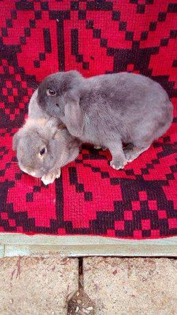 Vand iepuri pitici de companie