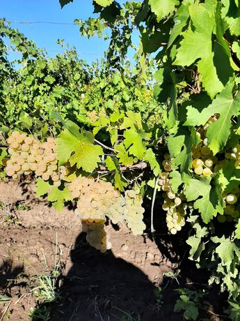 Struguri de vin recoltați în lădițe de 25 de kg