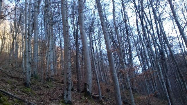 Pădure fag capsa bicaz