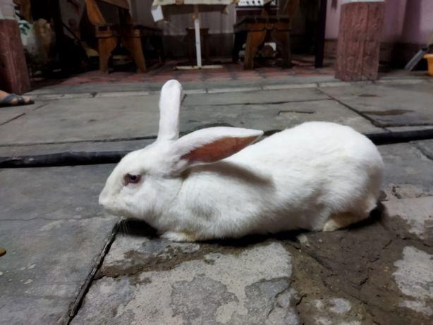Крольчиха 1,5 лет