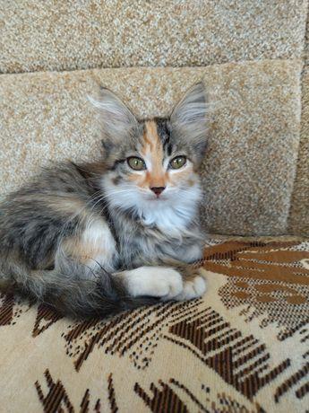 Кошечка метиска ,два месяца