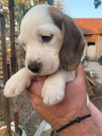 Pui de beagle tricolor cu ochi albastri