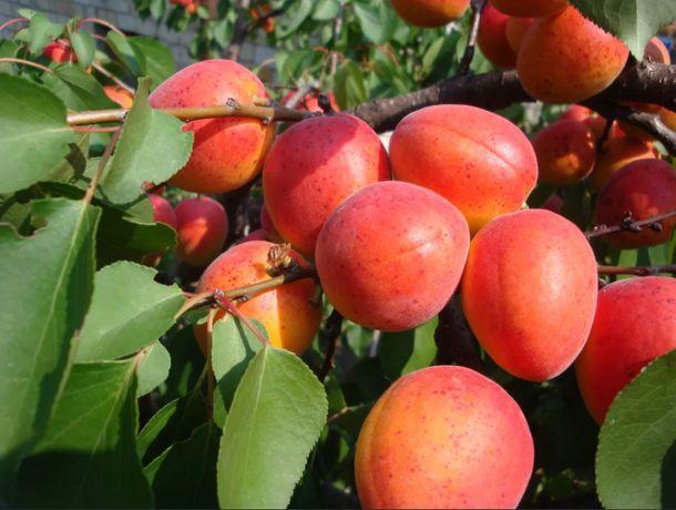Продам саженцы 3хлетних Груш, черешни, сливы, абрикос, яблони и др