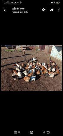 Продаю оптом курей домашних около 30 больших и 15 цыплят