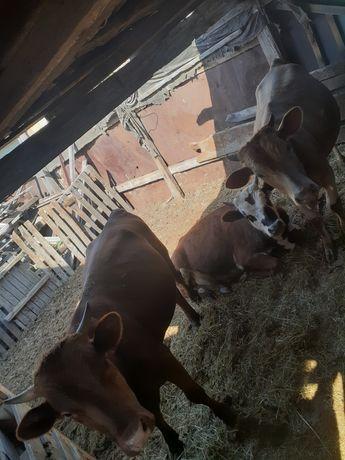Продаю годовалых бычков