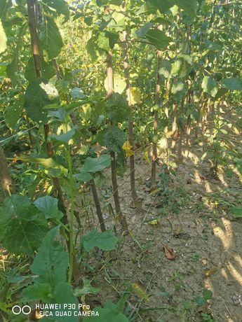 Pomi fructiferi altoiți direct de la producător