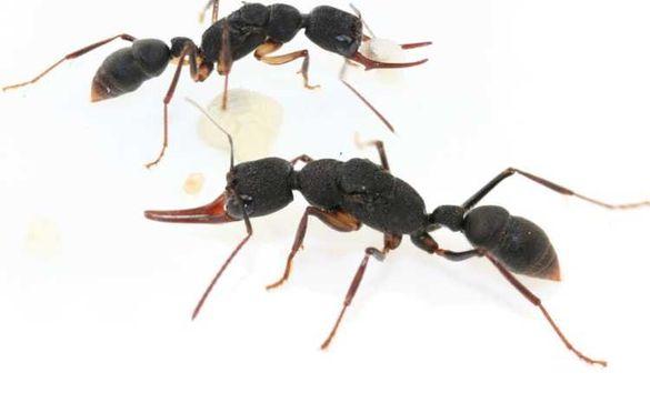 AntsBulgaria различни видове мравки и формикариуми