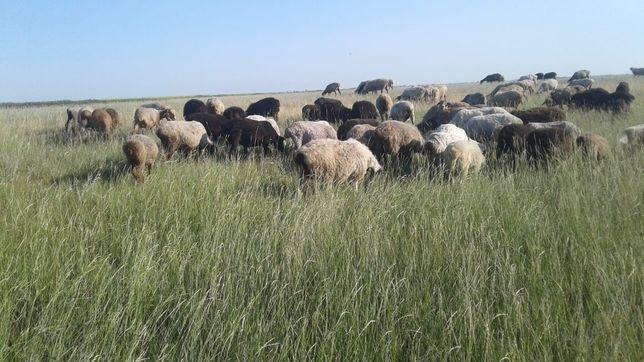 Кой Бараны  овцы