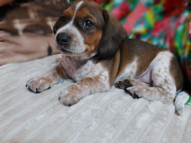 Продам щенка породы такса
