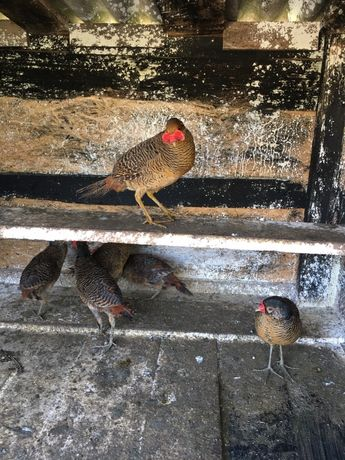 Vand familie de fazani auriu pe rosu