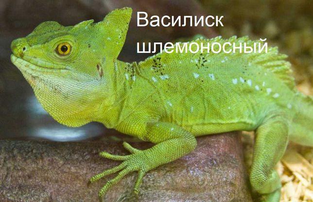"""василиск шлемоносный в зоомагазине """"ЖИВОЙ МИР"""""""
