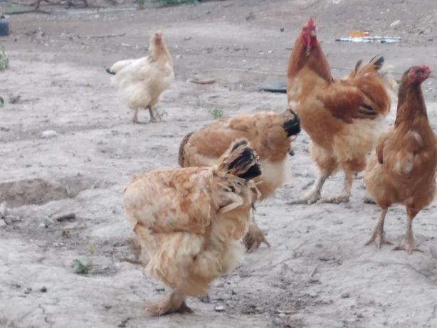 Брама курицы 1 год хорошые здоровье есть братер на буфер