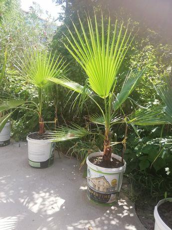 Пальма веерная Вашингтония