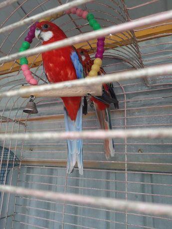Попугай Розелла Гранатовая