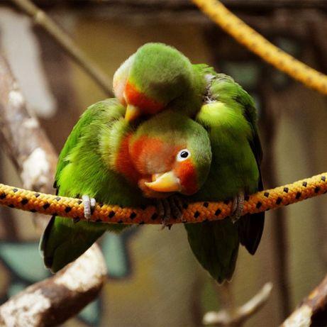 Попугаи Неразлучники в Живом Мире