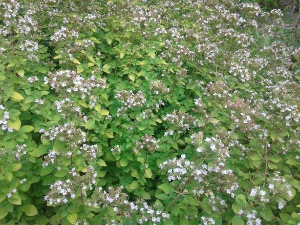 menta, oregano, iarba pisicii, chive, valeriana, tantarica, Monarda