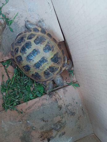 Продам черепаху!