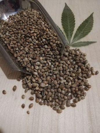 Semințe canepa / nadă - julfa