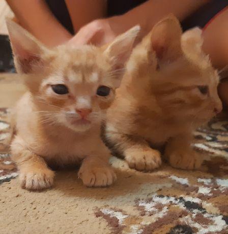 Отдам двух котёнков