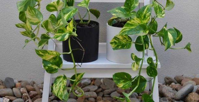 Planta la ghiveci Scindapsus Aureus_1 m