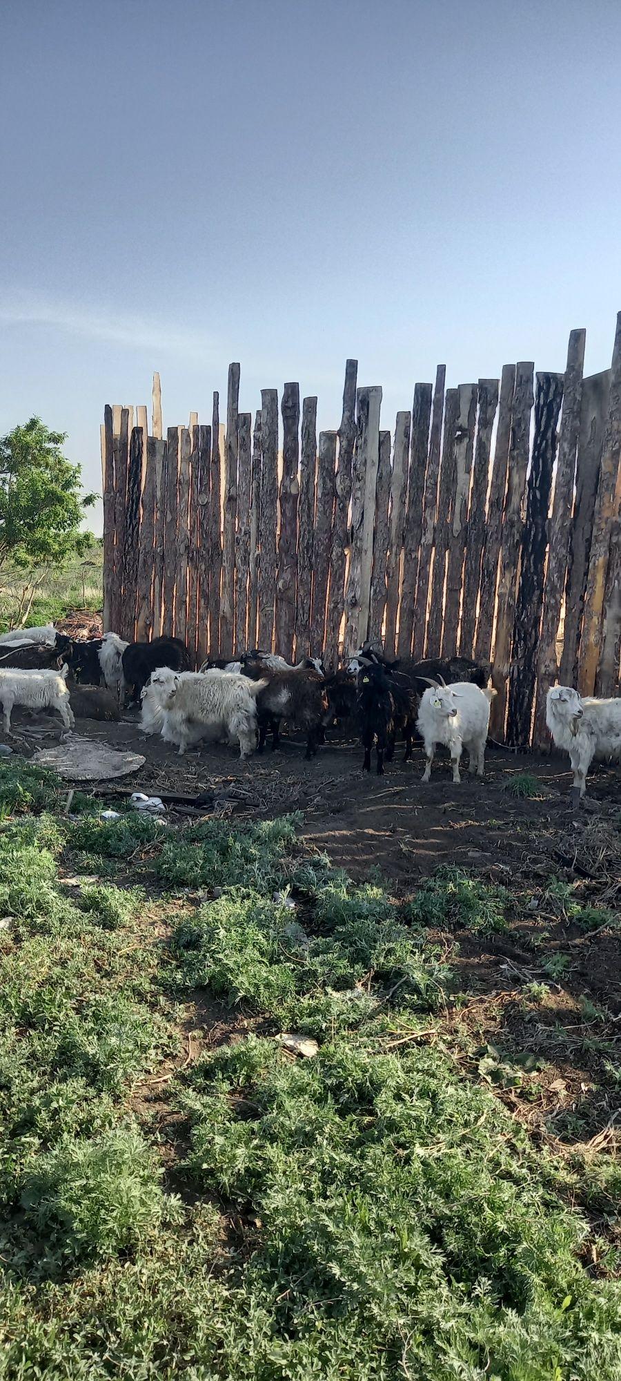 продам коз в большом количестве,желательно оптом 44ш, возраст разный.