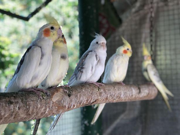 Papagali nimfa nimfe pui blanzi sociabili