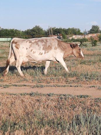 Продаются  корова