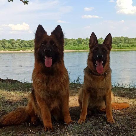 Продам породистых щенков немецкой овчарки стандартной и длинношерстной