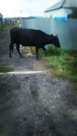 Срочно продам молодую корову