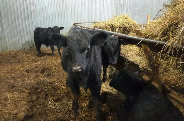 Продам телят коров бычков ангус сементал герефорд